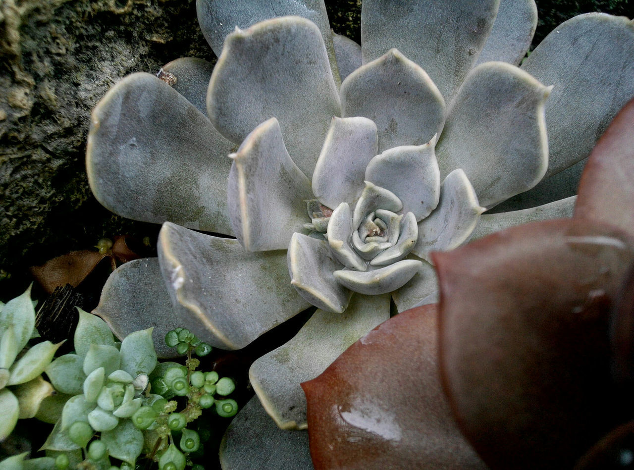 Succulent Plant Growing Outdoors