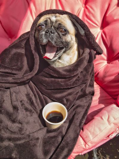 Good morning - first a cup of coffee please Morning Dog Pug Coffee Cup One Animal Food And Drink Drinking Sitting Human Doing Tired Good Morning Dressing Gown Yawning Behavior Human Behavior Coffee Cup Funny Pets Drink Eyeem Funny Shots Pet Portraits