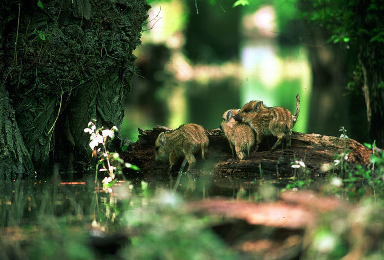 Wild boar piglets on log in forest