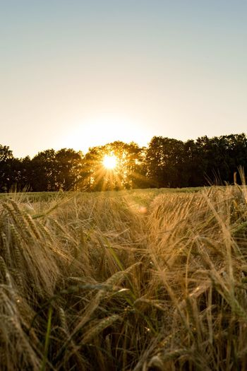 Sunset Sunlight Grass Sun Tree Scenics Tranquility Field Growth Nature Agriculture Rural Scene Tranquil Scene Beauty In Nature Clear Sky Crop  Farm Plant Non-urban Scene Lens Flare