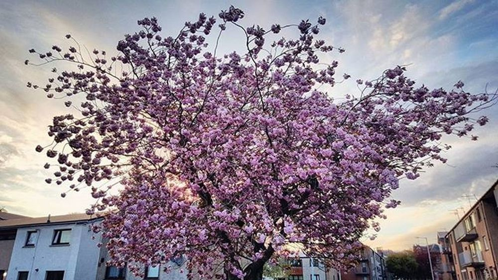 Spring Blossom Was such beautiful light driving home last night, right up to my flat. Shot this one handed while carrying my shopping with voice activation! Haha. (Top tip for minimising vibration and getting unique angles). ☺📷👍 Journey Hometime Spring Blossom Trees Beautiful Nature Sunset Abstract Flowers Streetphotography Scotspirit POTD Photooftheday Instascotland VisitScotland Angus Britains_talent Loves_Scotland Brilliantmoments