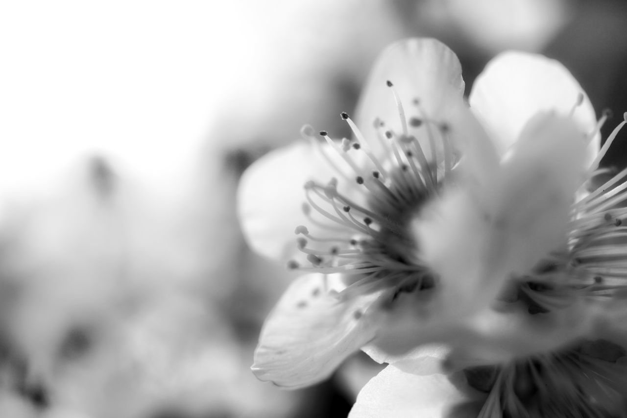 flower, petal, fragility, nature, beauty in nature, flower head, close-up, freshness, selective focus, growth, day, stamen, outdoors, no people, plant, blooming, animal themes