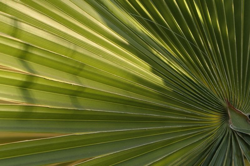 Pattern Palm Tree Leaf Palm Leaf Frond Growth Nature Green Color Backgrounds Tree Plant No People Textured  Beauty In Nature Outdoors Close-up Freshness