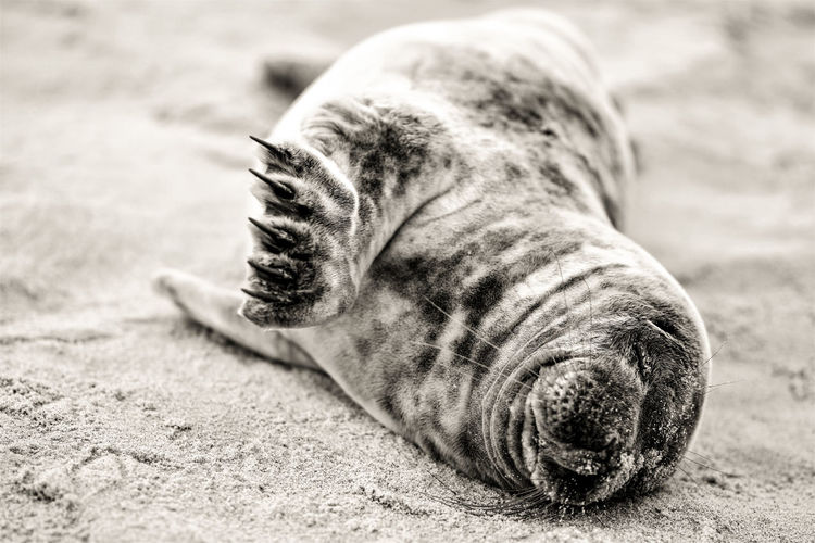 Close-up of a baby seal lying on the beach