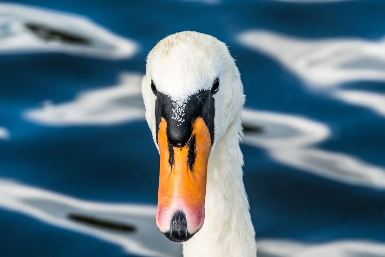 Copy Space Looking At Camera Mute Swan Animal Head  Animal Themes Animal Wildlife Animals In The Wild Beak Bird Blue Close-up Day Focus On Foreground Lake Nature No People One Animal Outdoors Summer Swan Swimming Water Water Bird White Color