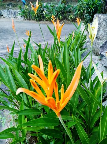 Growth Flower Freshness Beauty In Nature Nature Orange Color Plant Petal Blooming Fragility Flower Head Bird Of Paradise - Plant Outdoors Day No People Close-up