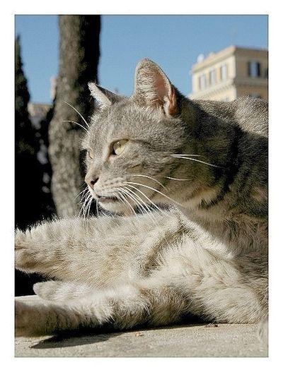 Cat ネコ Roma ローマ