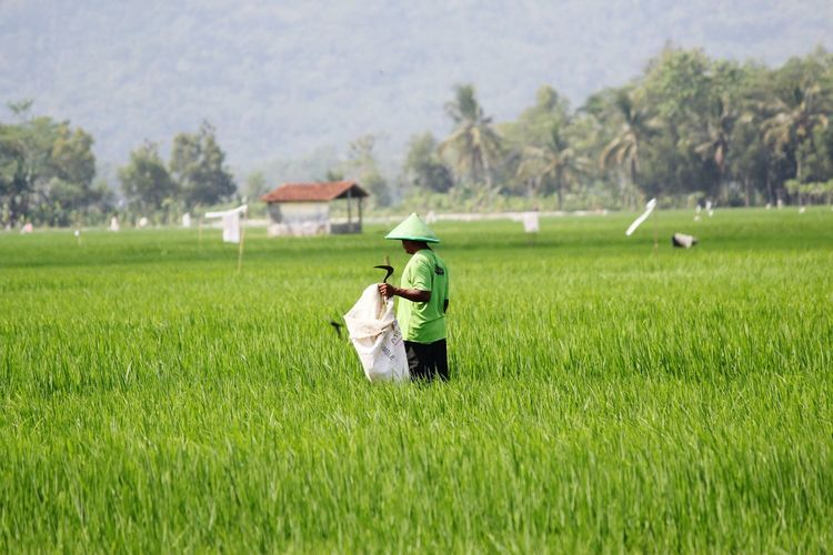 Farmer Holding Sack While Working In Rice Field