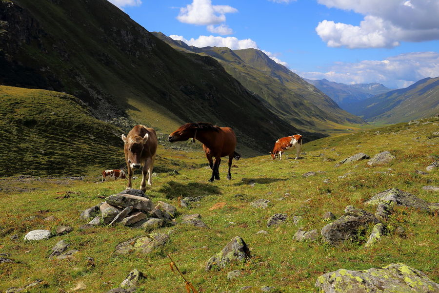 Aggression  Alpine Defending EyeEm Nature Lover Freedom Hiking Pasture Sunny The Week On EyeEm Travel Aggressive Animal Themes Attack Attacking  Cattle Cows Grazing Cattle Horse Landscape Livestock Mountain Mountain Range Quarrel Scenics Wild Modern Workplace Culture The Great Outdoors - 2018 EyeEm Awards