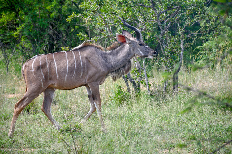 Wildlife and nature. Striped Tourism Tranquility Agriculture Motion Wild Animal Environment Hunting Majestic Side View Colors Game Buck Bush Field Nature Nature Photography Tree Animal Wildlife Wildlife Mammal Day Outdoors Tree Full Length Safari Animals Side View Grass Growth Young Animal