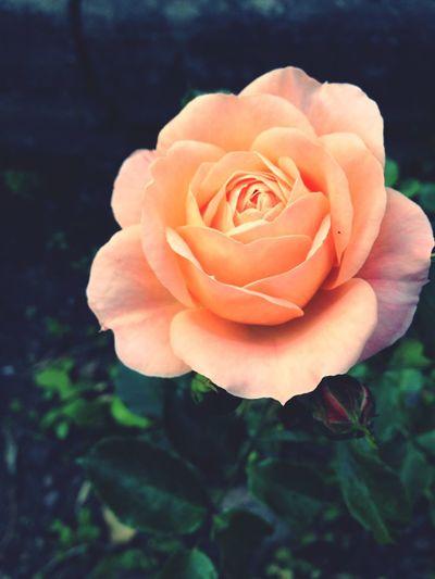 A rose Rose🌹