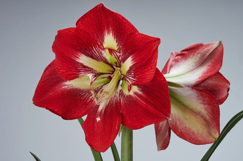 Beautiful flower of amaryllis Pink Red Amaryllis Amaryllis Flower Amaryllis In Bloom Beauty In Nature Close-up Day Flower Flower Head Fragility Freshness Growth Nature No People Petal Red Star