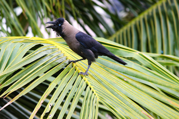 THE STYLISH CROW ON THE FRONDS Cawing Coconut Palm Tree Fronds Crow Bird Perching Tree Palm Tree Full Length Close-up Leaf Vein Frond Leaves Tropical Tree Coconut Palm Tree Tropical Climate