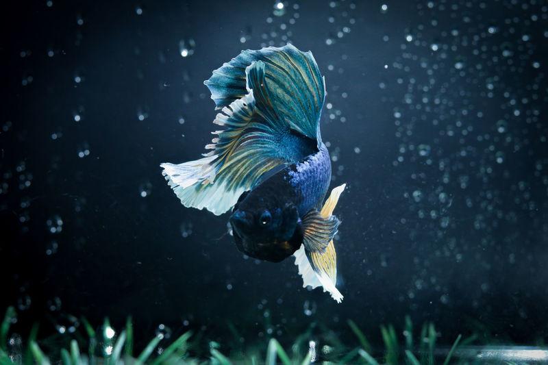 Beautyful tail betta fish