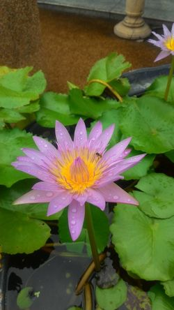 Close-up Flower Lotus Lotus Flowers Lotus Leaf Lotus Leaf With Raindrop Lotus Water Lily Pink Lotus Pink Lotus Flower Purple Lotus Purple Lotus Flower Water Lily Water Lily Flower Water Lily Leaf