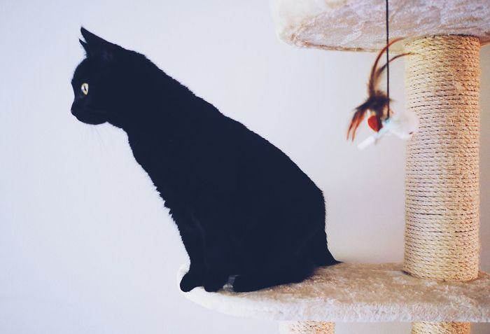 Animal Themes One Animal Domestic Cat No People Mammal Domestic Animals Pets Indoors  Close-up Day Black Black Cats Profile View Side View Curiosity Curious Curious Cat Still Life Kitten White Background Silhoutte