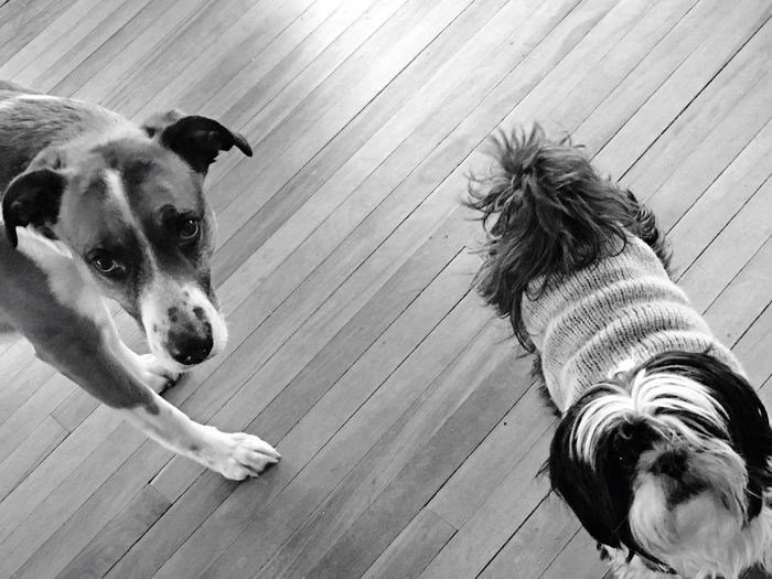 Small Black And White Dog In Sweat Her Along With Large Brown, White And Black Dog Looking Into Camera. On Hardwood Floor. No People Small Shiatsu In Striped Sweater And Large Brown, White And Blank Dog, February Showcase