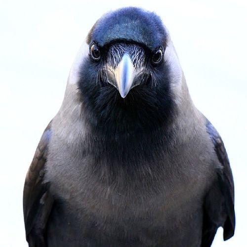Not the most Charming of Birds , but definitely very inelligent. Mydubai DubaiBirds Dubai Canon7D 70200mm NatGeo PhotoSociety