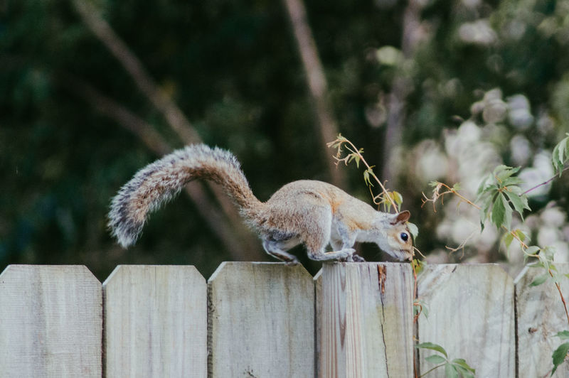 Squirrel on fence.