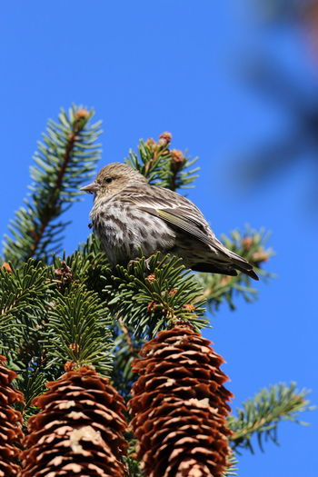 Low angle view of bird perching on pine tree against blue sky