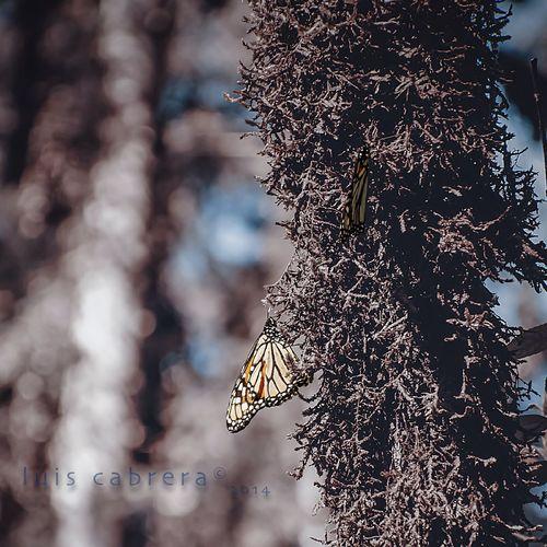 Mariposas Monarcas Monarch Butterfly