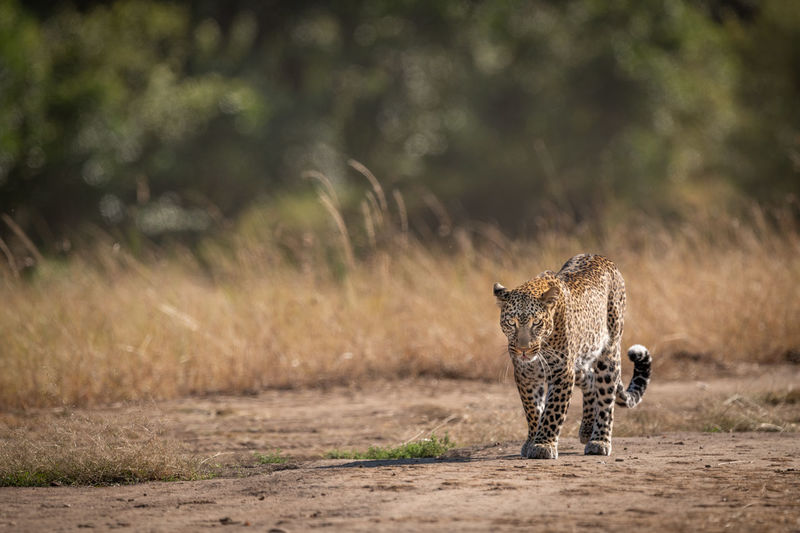 Leopard walking past long grass in savannah Africa Kenya Masai Mara Kicheche Savannah Savanna Safari Leopard Panthera Pardus Predator Big Five Big Cat Cat Carnivore Mammal Animal Wildlife
