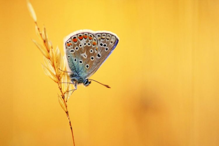 Nature Natuur Vlinder Butterfly EvningGlow Bennekom Netherlands Molfotografie