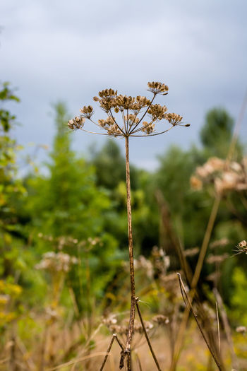 Close-up of wilted flower on field against sky