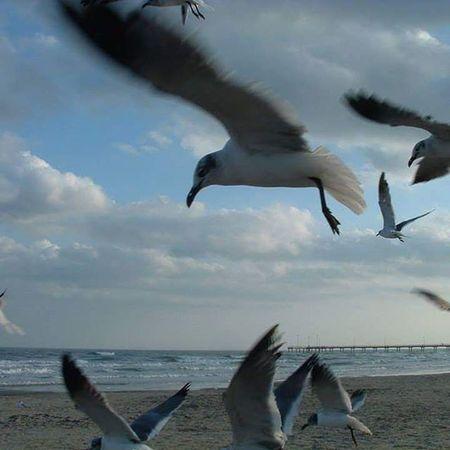 Corpus Christi, Tx Seagulls