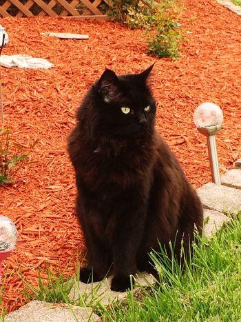 Nature girl. Black Cat Photography Domestic Cat Pets Feline Domestic Animals Cat Outdoors Nature_collection Nature Photography Nature Black Cat Collection