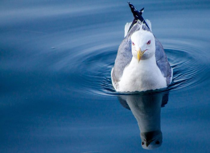 Reflection of seagull on water
