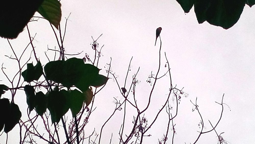 A Bird SSClickpix Ssclix SSClicks SSClickPics Mobilephotography Monsoon Monsoon Season Bird Tree Silhouette Branch Leaf Sky Plant Bare Tree
