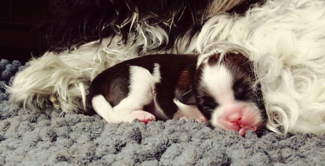 Puppy Pets Brown Shihtzu Sony Xperia M5 Shih Tzu Love Photo♡ Shih Tzu Cute Pets Dog Shih Tzu Cute Dog  Puppy Love ❤