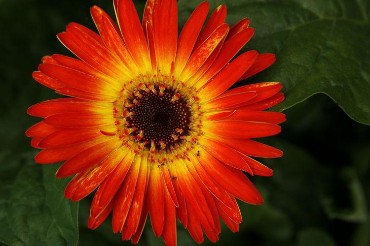 Close-Up Of Gerbera Daisy Blooming At Park