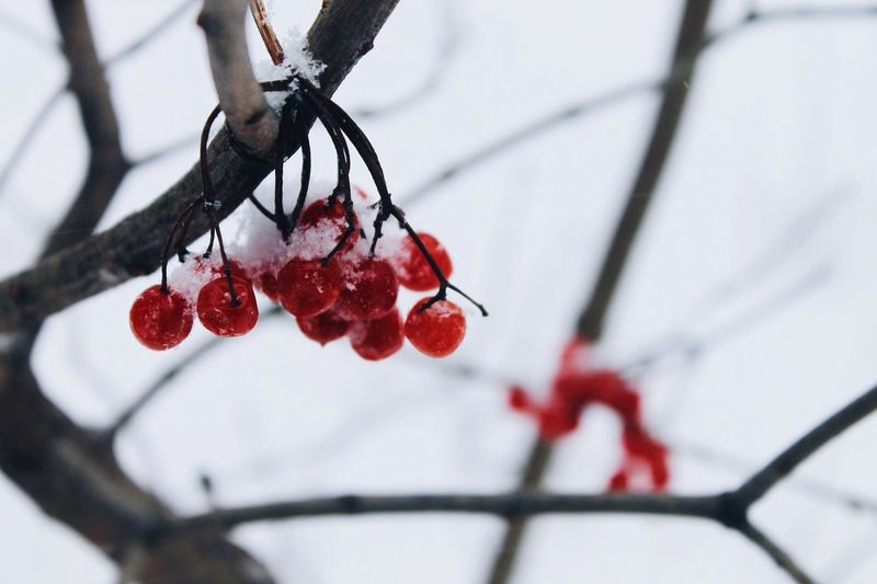Winter Snow Fruit Cold Temperature Red Rose Hip Day Outdoors Tree Nature Food And Drink Branch Beauty In Nature Focus On Foreground Rowanberry Close-up No People Frozen Hanging Growth