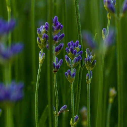 Lavender flowers (Lavandula angustifolia) blooming, macro and selective focus with green blurred background Angustifolia Aroma Aromatic Background Bloom Blossom Close Up Closeup Countryside Daylight Detail Europe Field Flora Floral Flower Flowering Flowers Fragrance Fragrant France Fresh Garden Green Herb Lamiaceae Lavandula Lavendel Lavender Leaf Lilac Meadow Medicinal Mediterranean  Natural Nature Ornamental Outdoors Plant Provence Purple Summer Violet Flowering Plant Beauty In Nature Close-up Selective Focus Bud Macro Macro Nature