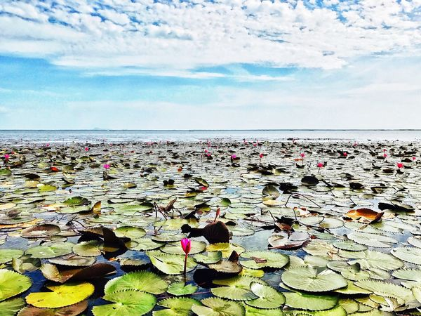 Water Beauty In Nature Nature Horizon Over Water Tranquility Scenics Water Lily Sky Leaf Floating On Water Lotus Water Lily Day Flower Sea Outdoors Lily Pad Cloud - Sky No People Growth