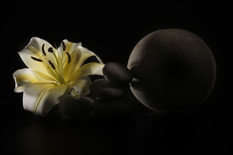yellow lily on the round stone Flower Flowering Plant Freshness Plant Close-up Lily Lily Flower Floral Petal Nature Summer Blossom White Spring Decoration Color Flora Blooming Bright Bouquet Leaf Green Bud Single Object Pretty Elégance Stone Zen Art Black Background Pebble No People Studio Shot