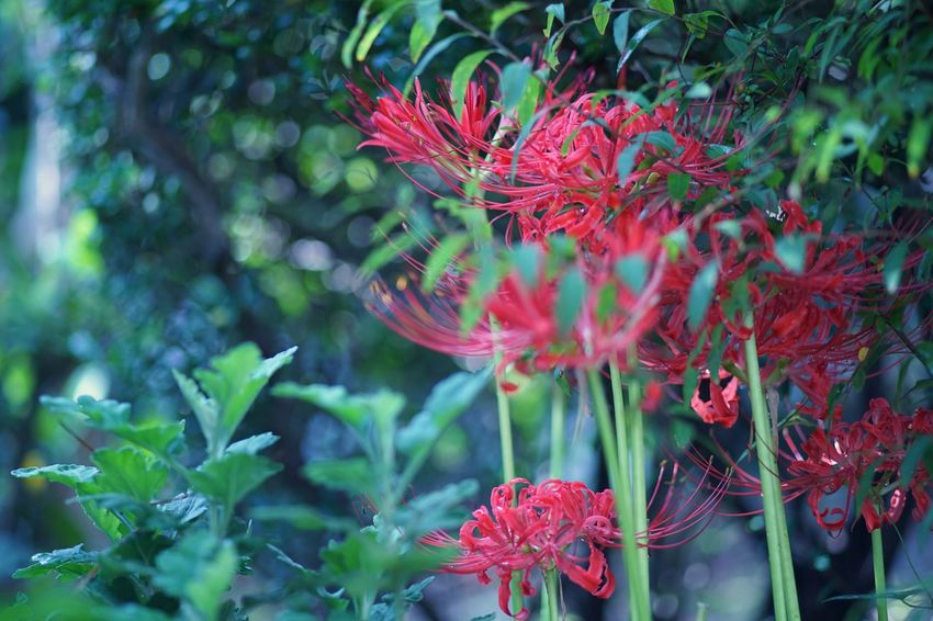 Red Spider Lily Lycoris Red Flower Flower 曼珠沙華 彼岸花 Beauty In Nature Memories Thinking Of You SONY A7ii Micro Nikkor 105mm F2.8 Micro Nikkor 105mm Micronikkor 105mm Masako201710 Commemorate Hometown