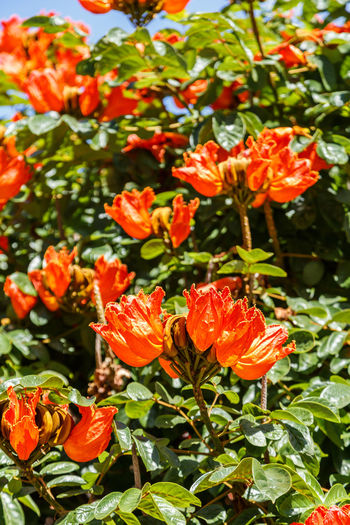 African Tuliptree Spathodea Beauty In Nature Blooming Close-up Day Flower Flower Head Fragility Freshness Green Color Growth Nature No People Orange Color Outdoors Petal Plant