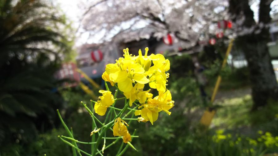 Taking Photos AQUOS ZETA SH-01H Flower Collection Yellow Vivid Flmwer Of Spring Cherry Blossoms Colors Of Spring