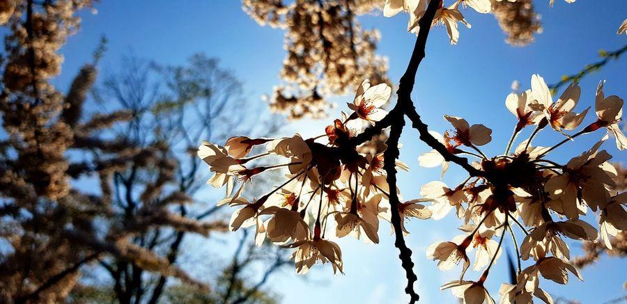 SAKURA CPH Sakura Festival Cherry Blosom Copenhagen Tree Flower Branch Leaf Blue Sky Close-up Plant