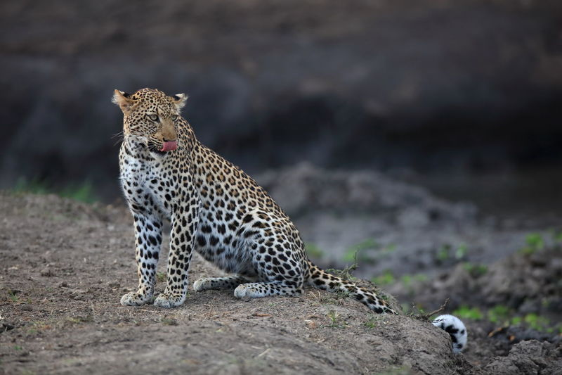 Leopard On Field