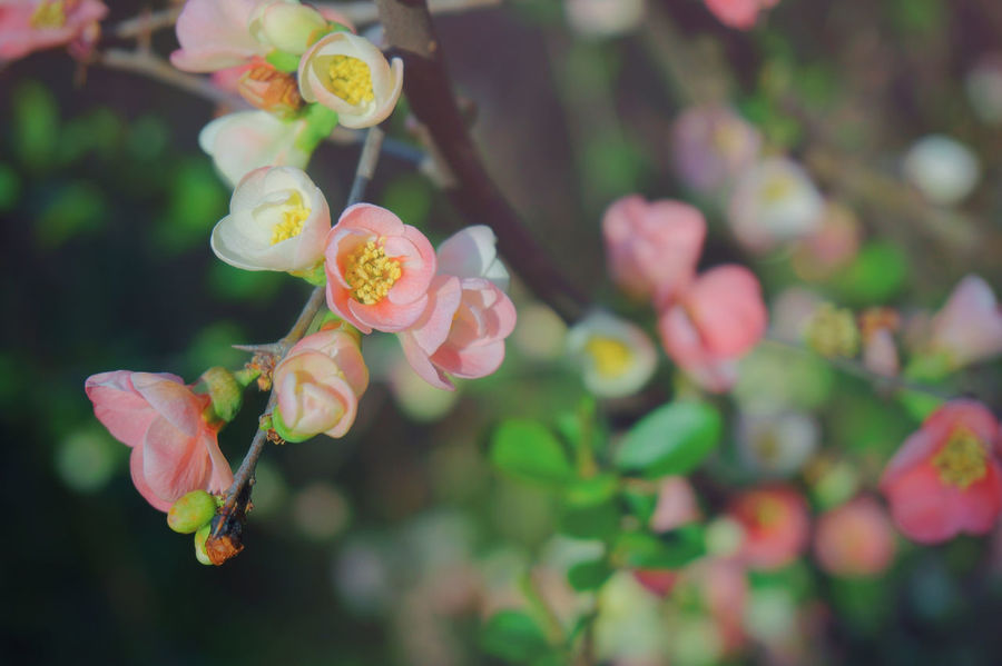 Chaenomeles speciosa,flowering quince, Japanese quince Beauty In Nature Blooming Chaenomeles Speciosa Day Flower Flowering Quince Flowers Fragility Green Color Japanese Quince No People People Petal Pink Color Plant Spring Springtime Millennial Pink EyeEm Ready   Visual Creativity