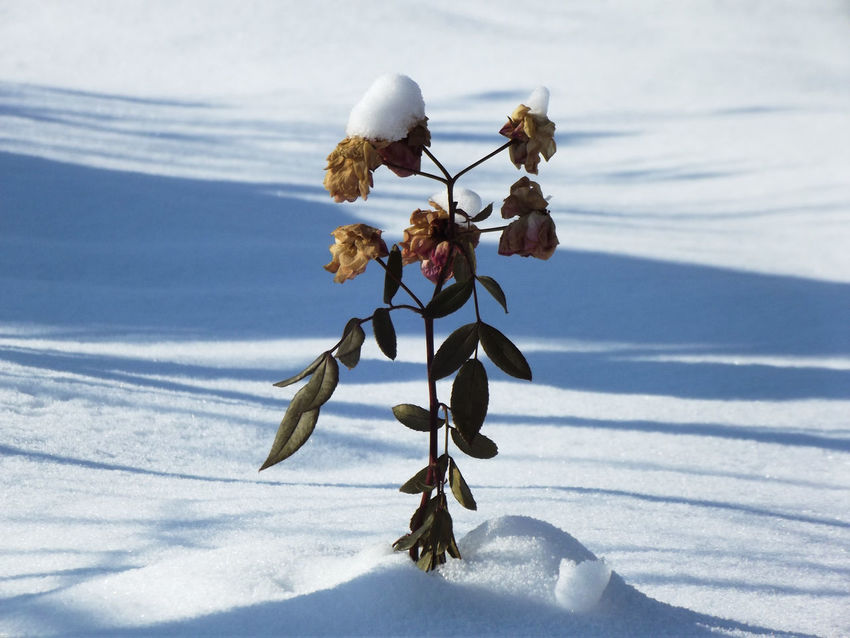 Art Photography Love Nature Nature Games Winter Winter Flowers Wintertime Day Hat On Rose Nature_collection No People Plant In Snow Plant In Winter Rose - Flower Shadow Shadow In The Snow Shadow Photography Snow Snow Art Snow Field Snowday