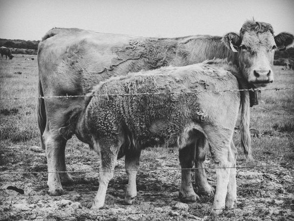 Black & White Field Land Livestock Nature Nature Photography Portugal Travel Travel Photography Traveling Animal Animal Themes Black And White Blackandwhite Blackandwhite Photography Bnw Cavaleiro Cow Day Farming Nature_collection No People Outdoors Photography Travel Destinations
