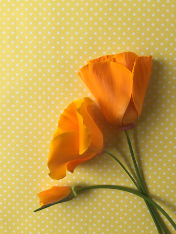 California poppies on polka dots Beauty In Nature Biology Botanical California Poppies Copy Space Cultivated Floral Flowers Indoors  Natural Light Nature No People Orange Color Petals Plant Polka Dots  Pretty State Flower