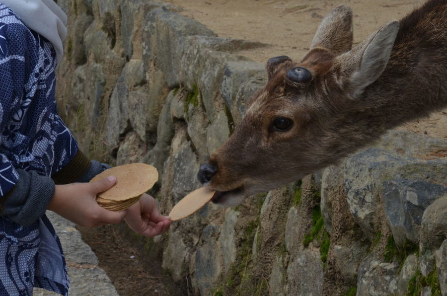Tourists are feeding deer at Nara Park. Animal Themes Close-up Day Holding Human Body Part Human Hand Leisure Activity Lifestyles Mammal Nature One Person Outdoors People Real People Side View Sika Deer ์Negative Photography