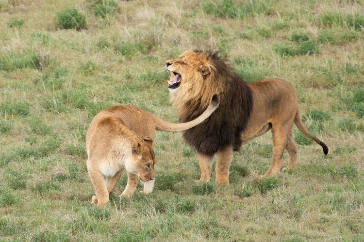 Lion Animal Animal Family Animal Themes Animal Wildlife Feline Grass Group Of Animals Lion - Feline Lioness Lions Mammal No People Sanctuary