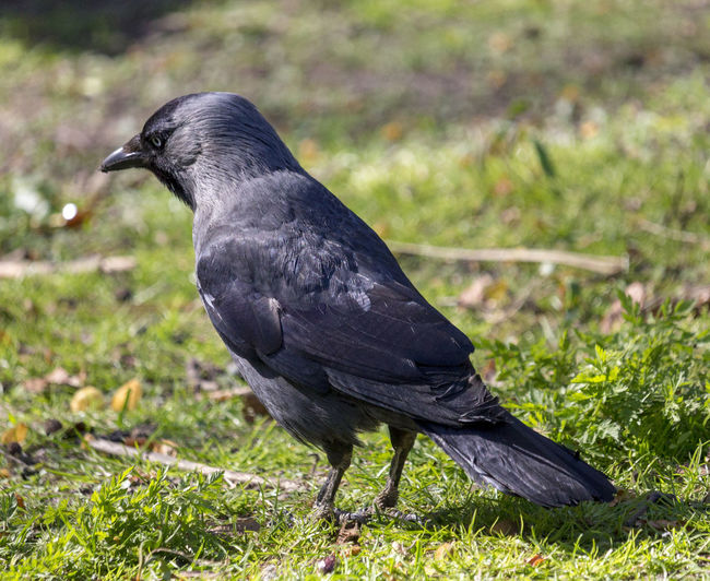 Western Jackdaw Animal Animal Wildlife Animals In The Wild Bird Grass Jackdaw One Animal